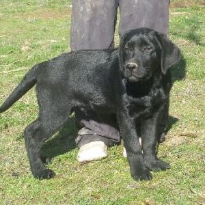 Chiots labradors noirs disponibles
