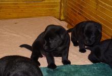 Chiots labradors noirs à réserver pour mi-juin