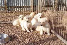 Chiots labradors sables à réserver pour fin février