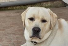 LABRADOR MALE 2 ans et demi à adopter