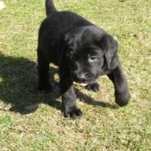 Le labrador noir 2