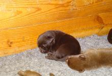 Chiots labradors chocolats à réserver (nés le 22/08/19)