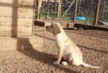 Chiot labrador sable disponible