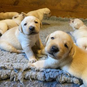 Chiots labradors sables à réserver pour début décembre 2021