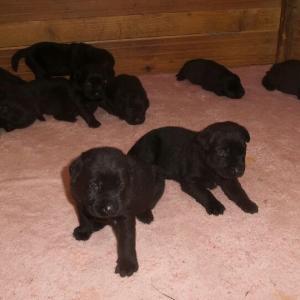 Chiots labrador noirs à réserver pour début juillet