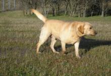 L'élevage de labradors des collines de Castellaras