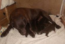 Chiots Labrador chocolat à réserver