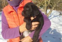 Chiots labrador noirs à réserver pour mi-décembre