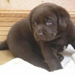 Le labrador chocolat