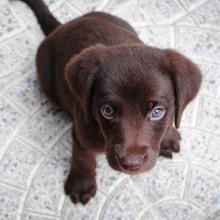 Labrador Chocolat