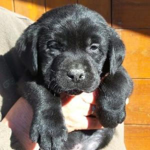 Labradors noirs 3