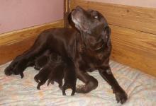 Chiots Labradors chocolats disponibles